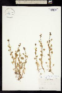 Image of Lupinus polycarpus