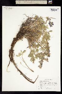 Image of Lupinus minimus