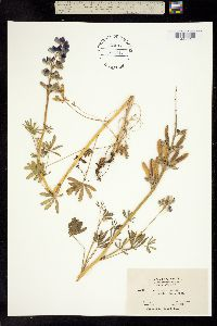 Image of Lupinus nanus