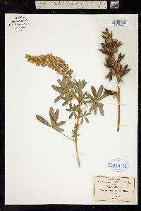 Image of Lupinus elegans