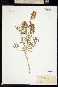 Image of Lupinus ehrenbergii