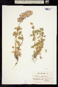 Image of Lupinus excubitus