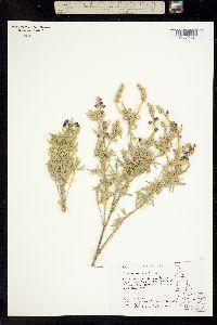 Image of Lupinus evermannii