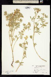 Image of Lupinus dalesiae