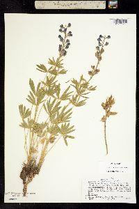 Lupinus nevadensis image