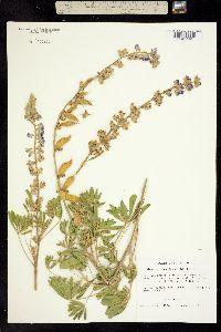 Image of Lupinus osterhoutianus