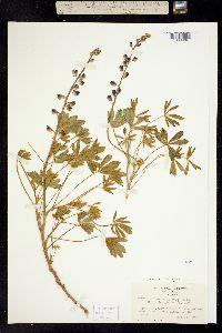 Image of Lupinus onustus