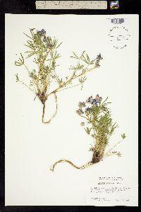 Image of Lupinus pratensis