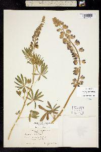 Image of Lupinus rivularis
