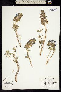 Image of Lupinus saxosus