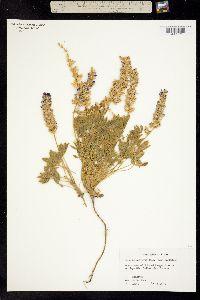 Image of Lupinus sellulus