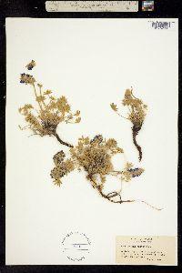 Image of Lupinus aridus