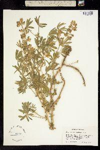 Lupinus adsurgens image