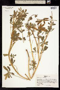 Image of Lupinus affinis