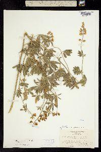 Image of Lupinus shastensis
