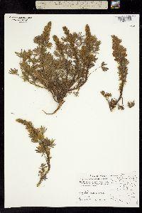 Image of Lupinus lasalensis