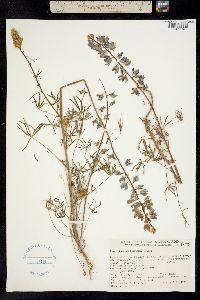 Image of Lupinus benthamii