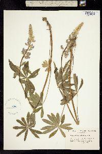 Image of Lupinus burkei