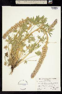 Image of Lupinus confertus