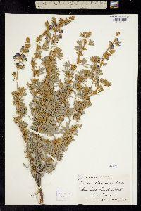 Image of Lupinus chamissonis