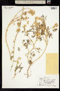 Image of Lupinus citrinus