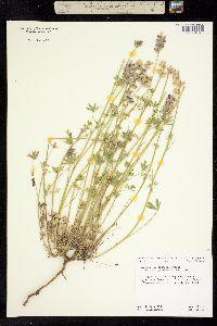 Image of Lupinus culbertsonii