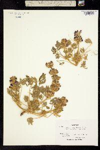 Image of Lupinus densiflorus