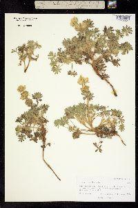 Lupinus densiflorus image