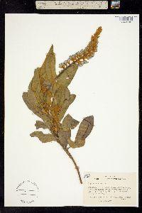 Image of Lupinus diffusus