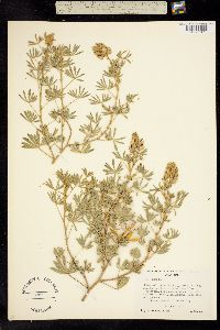 Lupinus plattensis image