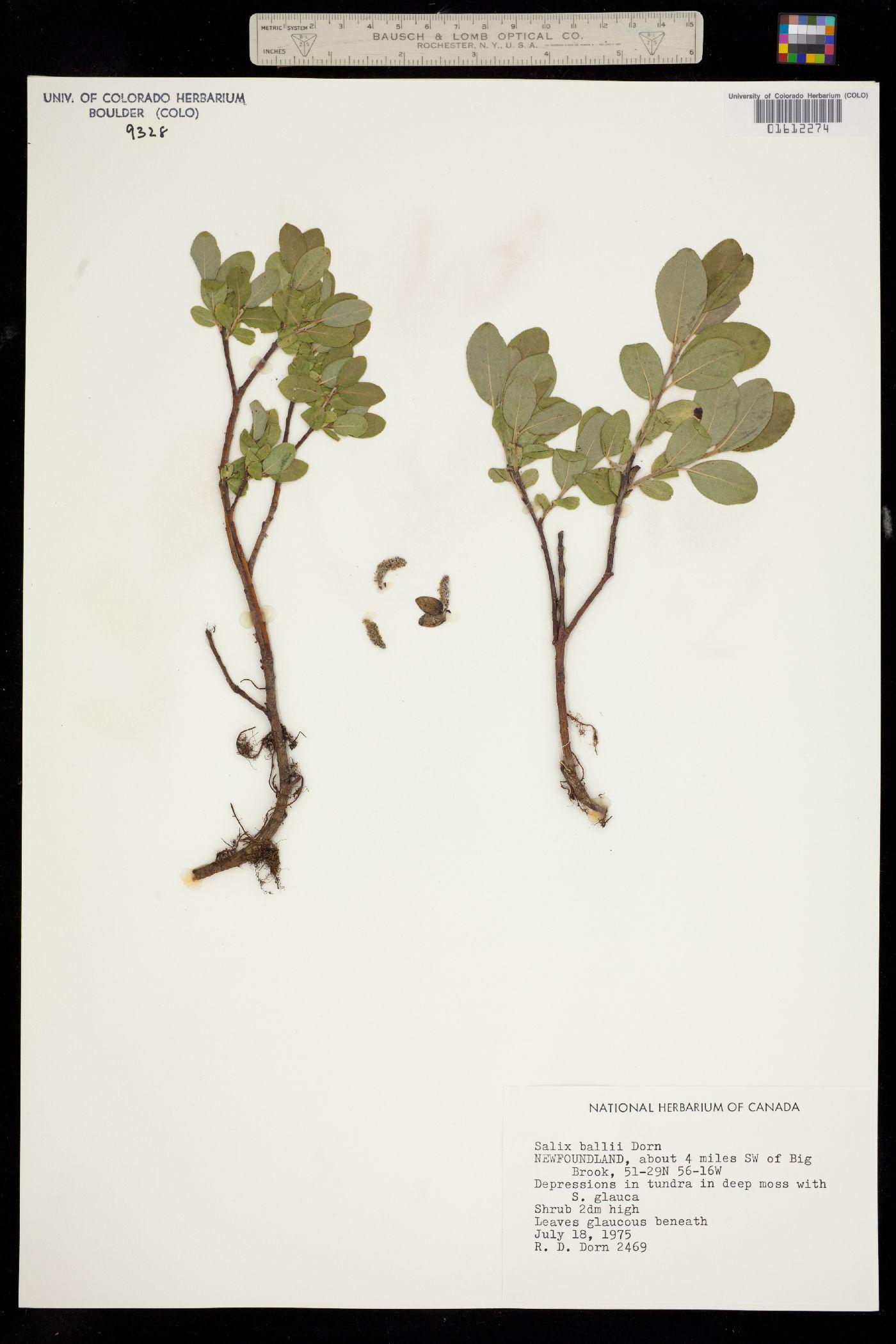 Salix ballii image