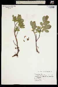Image of Salix ballii