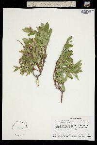 Image of Salix niphoclada