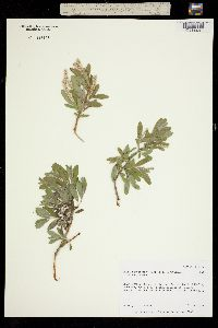 Salix niphoclada image