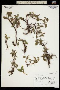 Salix chamissonis image