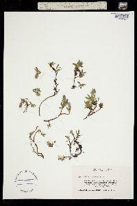 Salix cascadensis image