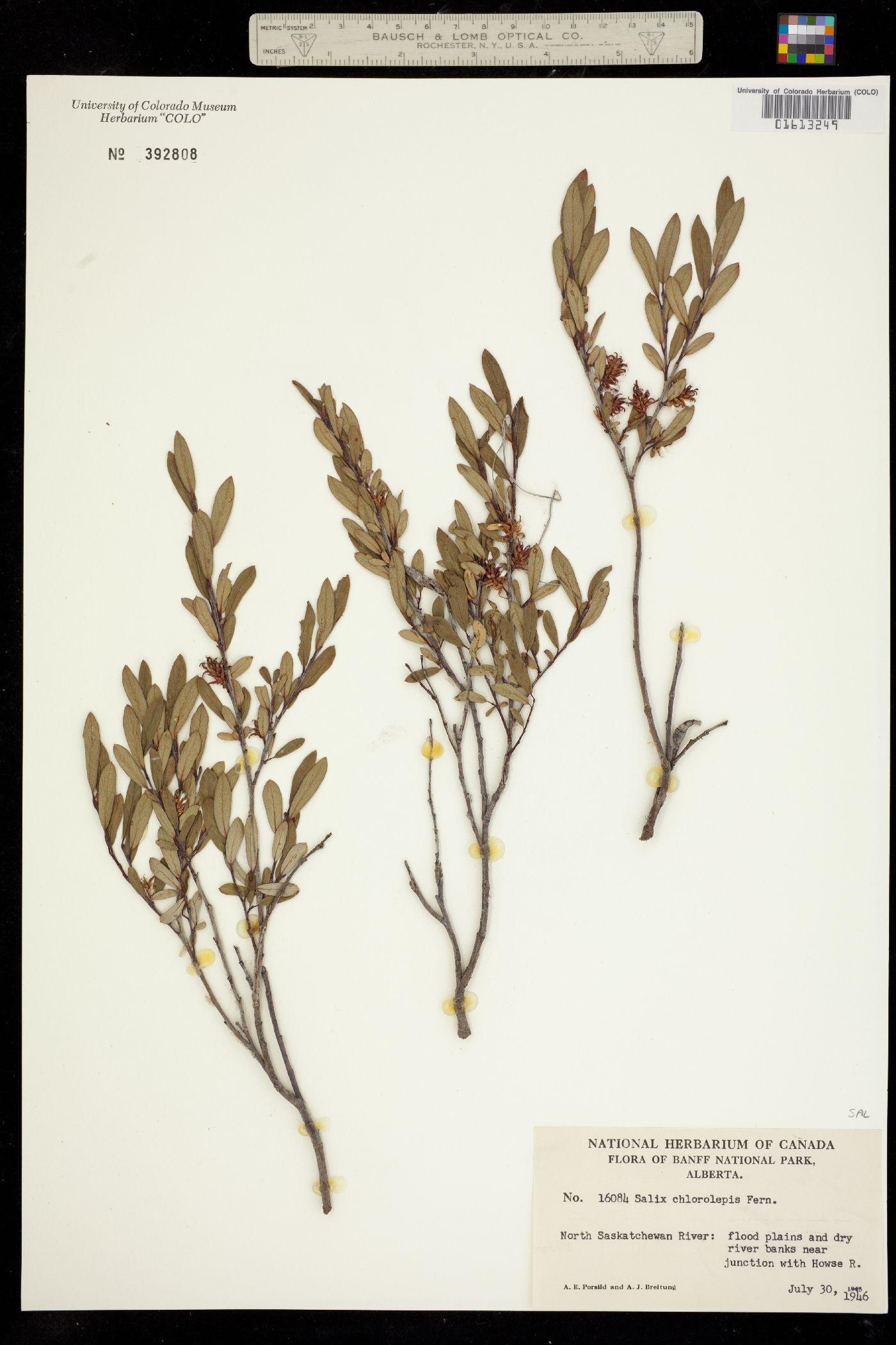 Salix chlorolepis image