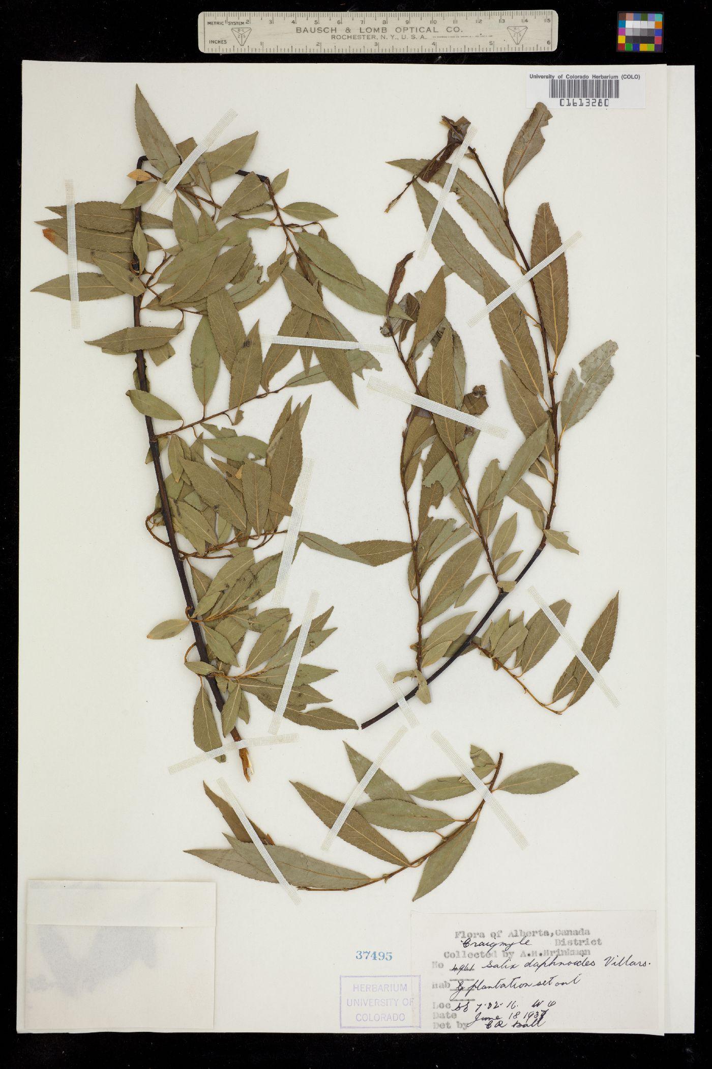 Salix daphnoides image