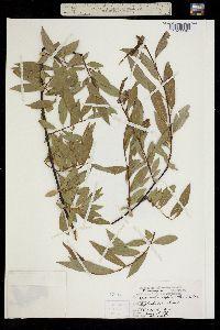 Image of Salix daphnoides