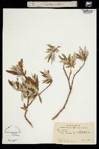 Salix drummondiana image