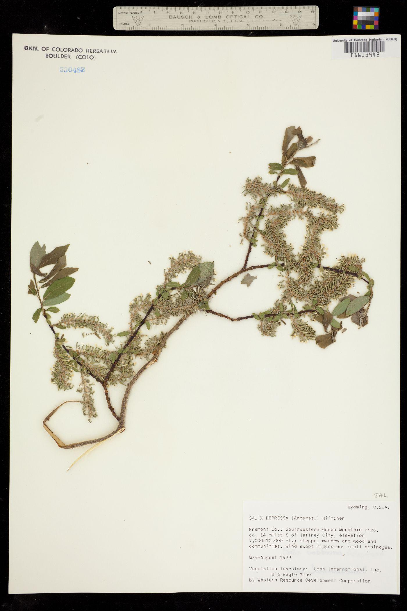 Salix depressa image