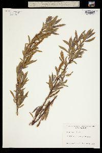 Salix fluviatilis image