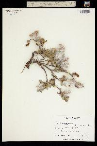 Image of Salix fullertonensis