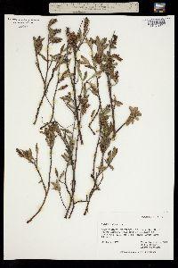 Image of Salix hastata