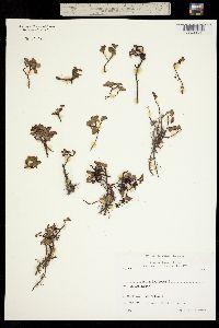 Image of Salix herbacea