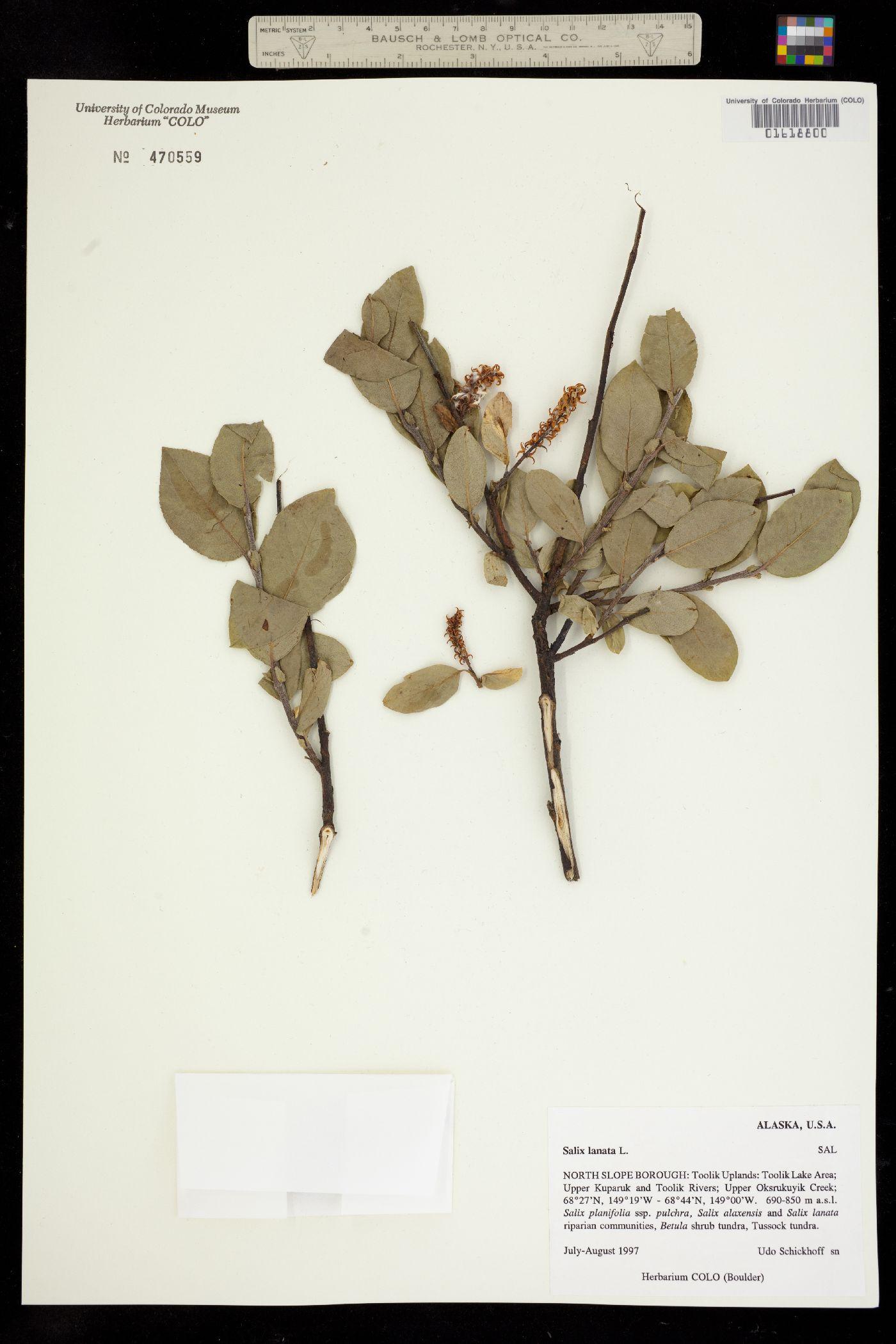 Salix lanata image