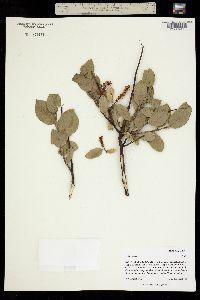 Image of Salix lanata