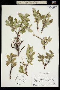 Image of Salix richardsonii