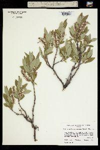 Salix richardsonii image