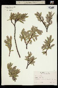 Image of Salix lemmonii